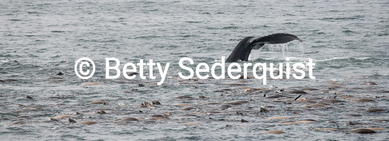 Humpback Whale and California Sea lions Feeding on Anchovies