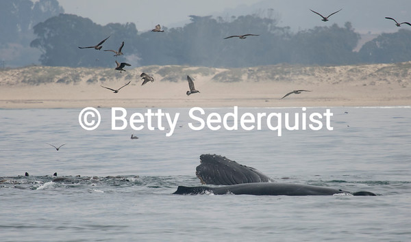 Humpback Whale Head, Monterey Bay