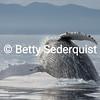 """""""Headless"""" Breaching Humpback Whale"""