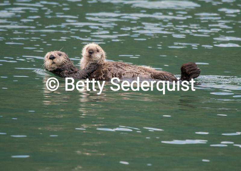 Sea Otter and Pup, Dundas Bay