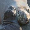 Elephant Seal Mon & Pup