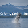Breaching Humpback Whale and Admiralty Island