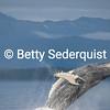Breaching Humpback Whale, Frederick Sound