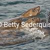 Curious Steller Sea Lions