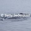 Nostrils, Humpback Whale
