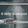 Big Male Orca Spouts
