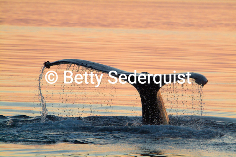Whale fluke in sunset