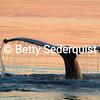 Whale fluke in sunset