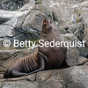 Dominant Steller Sea Lion Bull