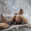Steller Sea Lion and Harem, Marble Islands