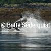 Orca Killing Dall Porpoise