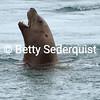 Steller Sea Lion, Anian Islands
