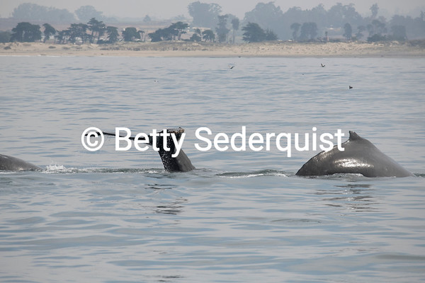 Two Humpback Whales near Shore, Monterey Bay