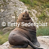 Dominant Steller Sea Lion Bull, Marble Islands, Glacier Bay