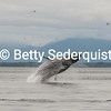 Breaching Humpback Whale, Point Adolphus