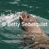 Steller Sea Lion Bow Wave