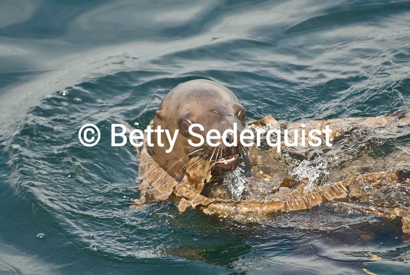 Sea Lion Playing in Kelp
