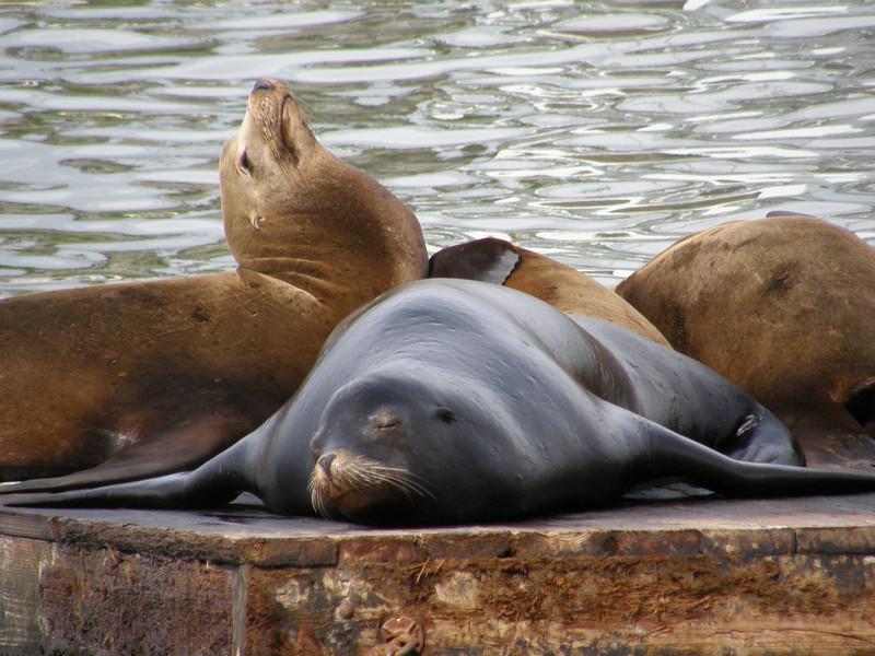 Sealions Sleeping On The Pier