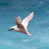 Red-tailed Tropicbird-Norfolk Island, NSW