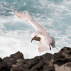 Red-tailed Tropicbird- Norfolk Island, NSW