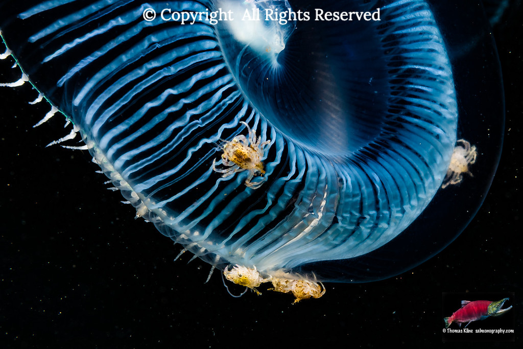 Crab larvae on jellyfish