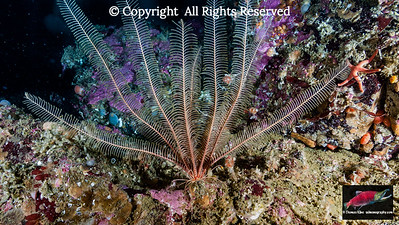 Common Feather Star