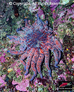Sunflower Sea Star (Pycnopodia helianthoides).