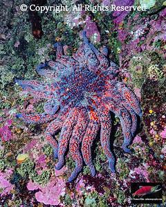 Sunflower Sea Star (Pycnopodia helianthoides).