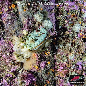 Rough Scallop Sponge encrusted Purple Hinge Rock Scallop