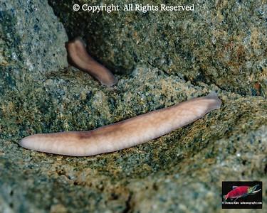 The planarian Polycelis coronata borealis