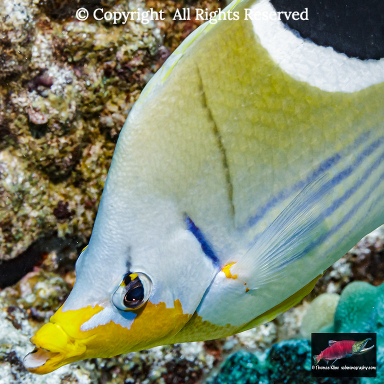 Saddleback Butterflyfish close-up