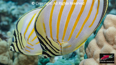Ornate Butterfyfish pair