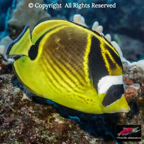 Racoon Butterflyfish portrait