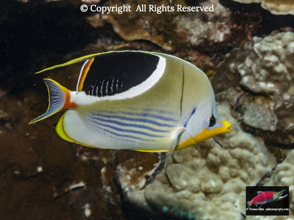 Saddleback Butterflyfish