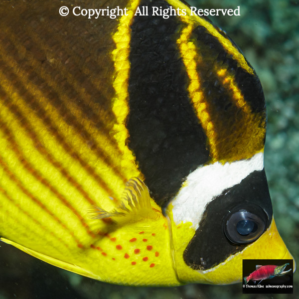 Racoon Butterflyfish close-up portrait