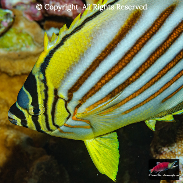 Ornate Butterflyfish nocturnal coloration