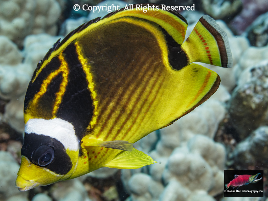 Racoon Butterflyfish (Chaetodon lunula) portrait taken underwater while scuba diving the Kona coast, Hawaii Island.