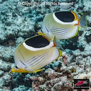 Saddleback Butterfyfish  pair