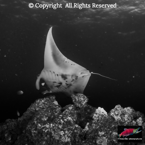 Hawaiian Saddle Wrasse  approach to clean a Reef Manta Ray of parasites