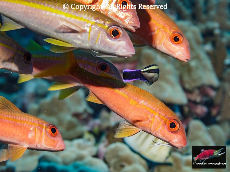 Yellowfin Goatfish school with a Hawaiian Cleaner Wrasse