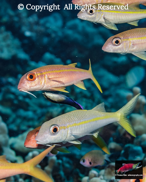 Yellowfin Goatfish school with a Hawaiian Cleaner Wrasse