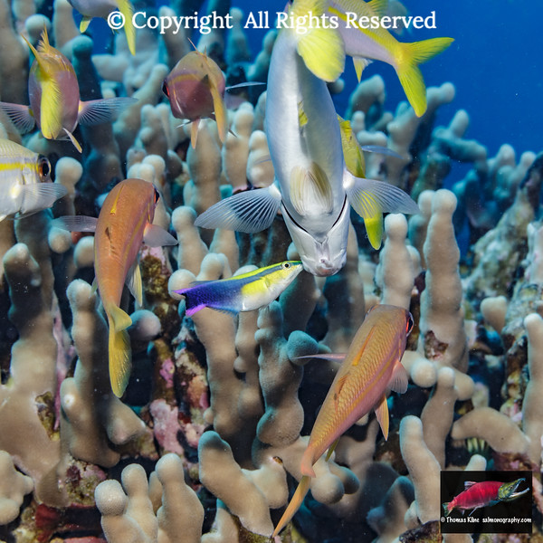 Hawaiian Cleaner Wrasse removing parasites from a Yellowfin Goatfish