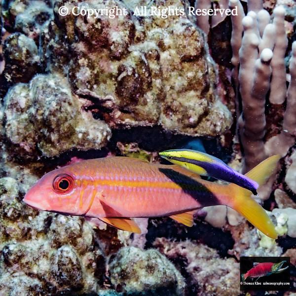 Yellowfin Goatfish with a Hawaiian Cleaner Wrasse