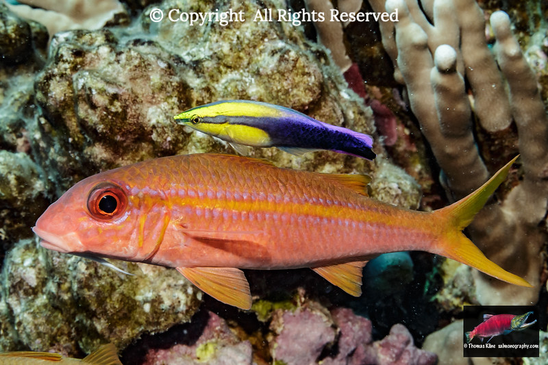 Yellowfin Goatfish with a Hawaiian Cleaner Wrasse