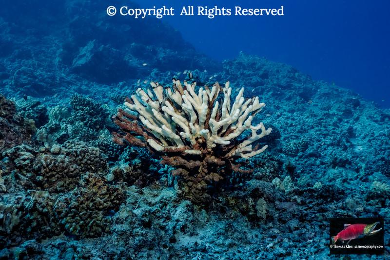 Coral Bleaching at Hawaii