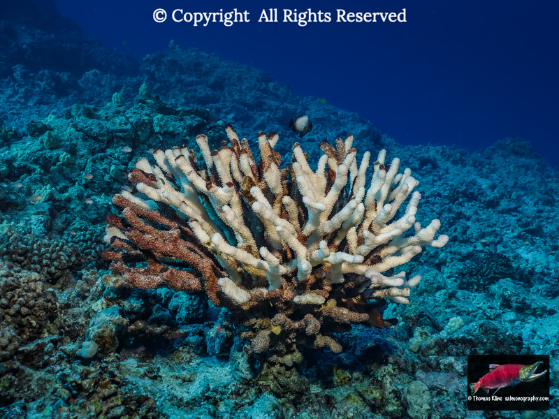 Coral Bleaching at Hawaii
