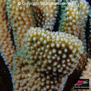 Antler Coral closeup