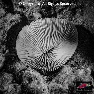 Granulated Mushroom Coral