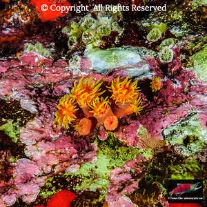 Corals to anemones: polyp forms of Phyllum Cnidaria