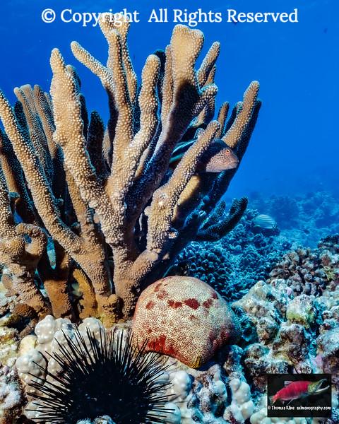 Freckled Hawkfish lurking in antler coral
